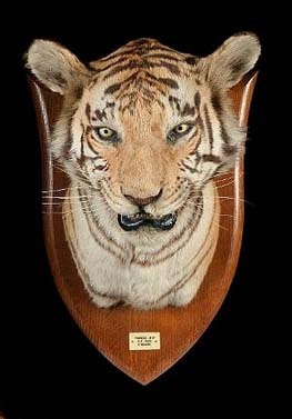 Peter Spicer Tiger Head